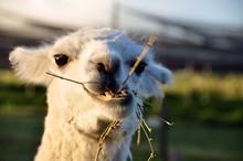 Lama Eating Grass