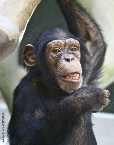Canvas Print Close-up Of Chimpanzee In Zoo