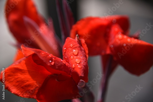Fototapety, obrazy: Close-up Of Red Hibiscus Blooming Outdoors