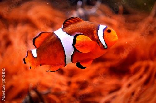 Fotografering Clown Fish Swimming In Aquarium