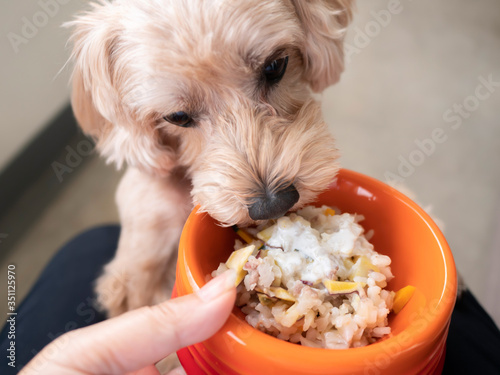 ドッグボウルに入ったペットフードを待てなくてかぶりつくかわいい小型犬【マルプー】 © nozomin
