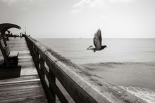 Pigeon Flying Over Pier At Sea