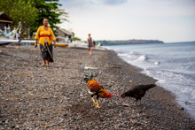 A Rooster And Chicken In Amed Beach. Bali, Indonesia