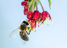 Bee Pollinating On A Flower Bl...
