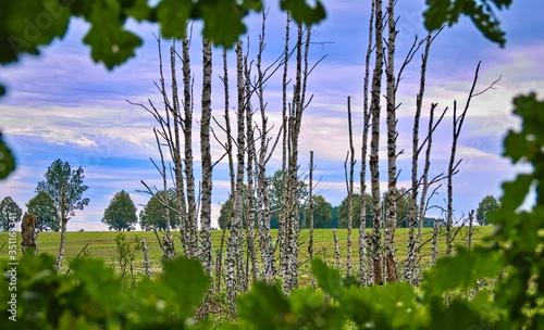 Krajobraz bagienny brzozy niebo - 351163341