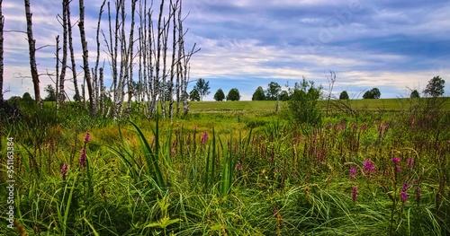 Krajobraz bagienny brzozy niebo - 351163384