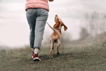 Bracco Italiano Puppy Walking ...