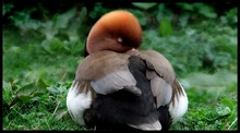 Close-up Of Sleeping Red-crest...