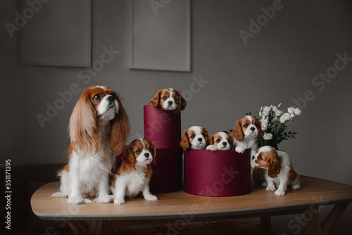 Photo cavalier king charles spaniels puppies and dog posing indoors