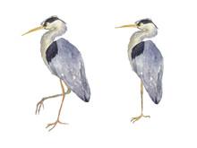 Watercolor Two Heron Birds Iso...