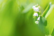 Blooming Lily Of The Valley (C...