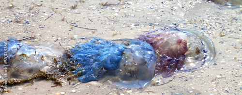 Photo Dead jellyfish (Rhizostoma) washed ashore on sand beach