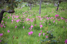 Krachiew Flower Field At Pa Hin Ngam National Park In Chaiyaphum, Thailand