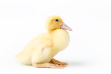 Cute Young Muscovy Duck Isolated