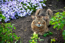 Vzroslyy Tigrovyy Kot Lezhit Na Zemle S Tsvetami  V Letniy Polden'.64/5000.Adult Tiger Cat Lies On The Ground With Flowers In The Summer Afternoon