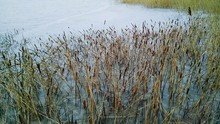 High Angle View Of Cattails Growing At Lake