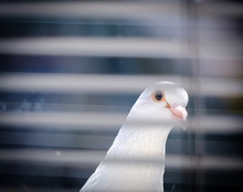 Dove Pigeon Looking In To An Office