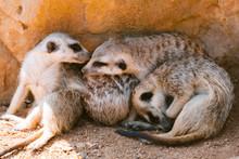 Meerkat Or Suricate Is A Small...