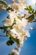 Kwitnąca jabłoń w sadzie