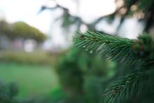A Branch Of A Fir Tree Or Fir ...