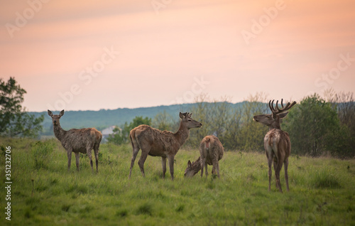 Red deer in spring pasture Canvas Print