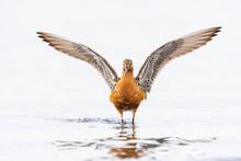 翼を広げるオオソリハ...