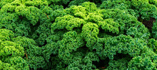 Close Up Of Kale Growing (Bras...