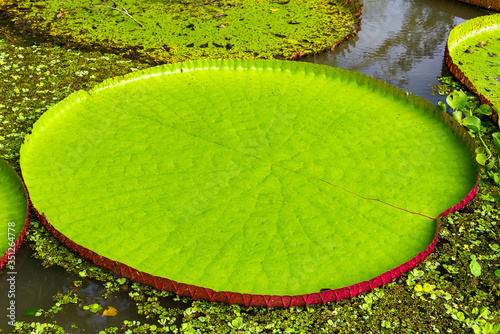 Valokuva High Angle View Of Victoria Water Lily Pads On River