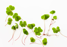 Oxalis With A Root On A White Background. Background With Young Fresh Leaves Of A Sour Plant. Sour Grass Is Used In Folk Medicine. Copy Space Text.