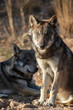 gray wolf canis lupus in the woods