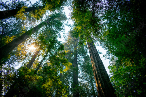 sun in the redwood forest california