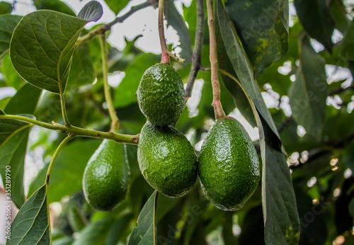 organic avocado cultivation. Tapéta, Fotótapéta
