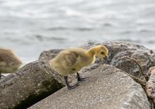 Baby Geese Are Exploring The B...