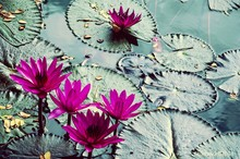 High Angle View Of Pink Water Lilies Blooming In Lake