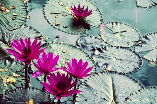 Stampa su Tela High Angle View Of Pink Water Lilies Blooming In Lake