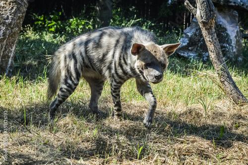 Tablou Canvas Sniffing Striped hyena close up - Hyaena hyaena