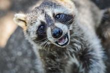 Cute Raccoon Portrait Close Up...