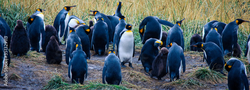 Close up View to the Big King Penguins Family in the Parque Pinguino Rey near Po Canvas Print