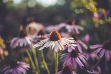 Echinacea In Bloom