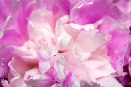 Fototapeta Natural floral background. Pink peonies flowers macro shot. Peonies flower petals, beautiful floral wallpaper. Flower texture. Abstract floral blooming background. Holiday floral card obraz na płótnie