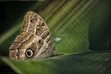 Owl Butterfly On A Leaf, Iguaz...