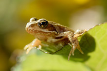 Portrait Of Common Frog, Rana ...