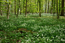 Germany, North Rhine-Westphalia, Wild Garlic (Allium Ursinum) Growing In Green Glade