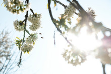 Close-up Of Honey Bees Flying Over Apple Blossoms Against Sky During Sunny Day