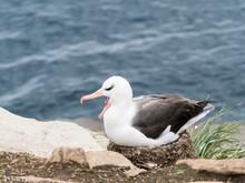 Adult Black-browed Albatross (Thalassarche Melanophris), On Its Nest On Saunders Island, Falkland Islands, South America