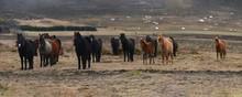Icelandic Horses, Iceland, Pol...