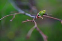 распускающая листья липа,leafy Linden Tree,nature, Insect, Green, Macro, Leaf, Bug, Animal, Spring, Plant, Closeup, Leaves, Wildlife, Grasshopper, Branch, Tree, Flower, Fly, Beetle, Insects, Close-up,