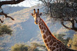 Namibia, Okapuka Ranch, Safari, Game Drive, Giraffe zwischen Baumkronen
