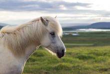 Island, Suðurland, Ein Pferd, Das Einmal Island Verlassen Hat Darf Nie Wieder Zurück. In Deutschland Gibt Es Mehr Islandpferde, Als In Island Selbst