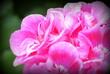 Leinwandbild Motiv Close-up Of Pink Flowers